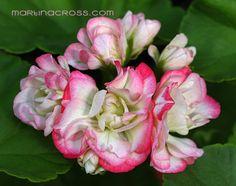 Pelargonium - Pelargonie - Pelargoner Rosamunde