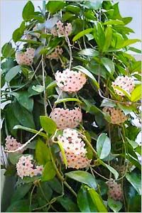 Know all the health benefits that interio plants bring us Hanging Succulents, Cacti And Succulents, Hanging Plants, Hoya Plants, Cactus Plants, Garden Plants, Big Indoor Plants, Indoor Flowers, Tropical Garden