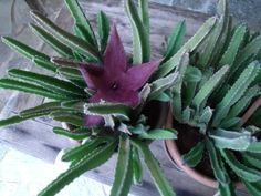 cactus floridus