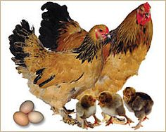Brahma — Buff, Dark, Light Egg Production: Brown Eggs with Medium Production Brahmas are gentle birds with profuse, fluffy feathering throughout their bodies including feathered legs and feet and require well drained soil where they are kept. This fancy breed of chicken makes a great pet for its quiet and tame nature and tolerance to the cold. Best kept free range and confined; cold hardy. Classified as Watch by the ALBC.