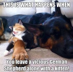 German Shepherd and Kitten
