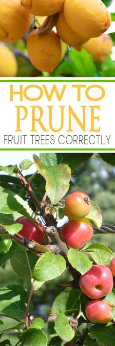 Prune Fruit Trees the Correct Way How you prune your fruit trees has such an effect on your harvest. Learn how to prune correctly.How you prune your fruit trees has such an effect on your harvest. Learn how to prune correctly. Fruit Tree Garden, Veg Garden, Garden Trees, Edible Garden, Herb Gardening, Fruit Plants, Glass Garden, Utah Gardening, Gardening Tools