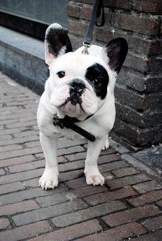 Pied French Bulldog.