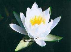 Water lily.  Photo by Rachael Irvine, Irvine's Place Photography