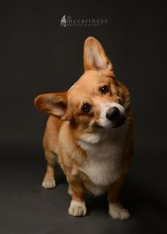 Welsh #Corgi