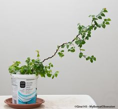 My Bonsai Obsession: Deconstructed Ficus Pumila - six months later