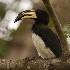 AfricanPied Hornbill