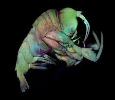 Deep sea crustacean