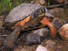 Wood Turtle (Glyptemys Insculpta) // In the Southeast the Wood Turtle is found only in Virginia. The Wood Turtle's range is northern Virginia and West Virginia up through the Northeast and upper Midwest and into southern Canada. They are tolerant of cold climates and are active at lower environmental temperatures than most other reptiles.