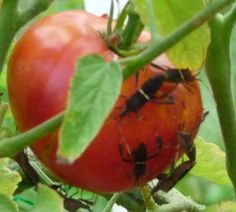 Q: These insects are attacking my tomatoes. A: You're seeing leaf-footed bugs, Leptoglossus pyllopus Plant Insects, Garden Insects, Garden Pests, Tomato Bugs, Tomato Plants, Growing Tomatoes In Containers, Grow Tomatoes, Texas Gardening