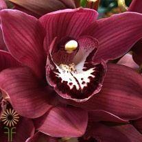 11-orchid-cymbidium-burgundy_opt Types Of Flowers, Love Flowers, Colorful Flowers, Spring Flowers, Orchid Flowers, Orchid Boutonniere, Orchid Arrangements, Cymbidium Orchids, Burgundy Flowers