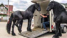 Friesian horses 🐴 the most beautiful horses in the world 2018 Most Beautiful Horses, Friesian Horse, Horse Breeds, Romania, Cai, Youtube, Animals, Falling Down, Beautiful Horses