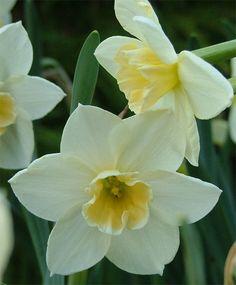 Narcissus Sweet Love - Jonquilla Narcissi - Narcissi - Flower Bulb Index