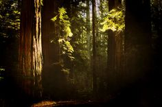 redwood+photography+/+nature+forest+tree+art+print+by+MelGrossArt Pencil Drawing Tutorials, Large Canvas Wall Art, Redwood Forest, Tree Art, Fine Art Gallery, Photo Art, Nature Photography, Boy Bedrooms, Art Prints