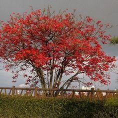 Oriental Wax Tree Seeds