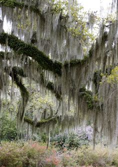 Majestic oaks festooned with Spanish moss and ferns