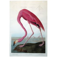 """This is my favorite page from one of the greatest books ever printed: John James Audubon's Birds of America book """"American Flamingo."""" - 1stdibs"""