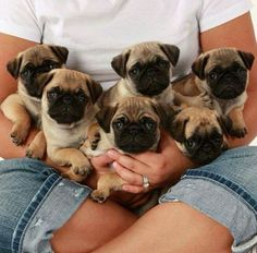 Pug puppies....                                                                                                                                                                                 More