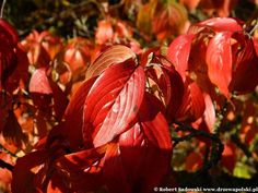 Dereń japoński - Cornus officinalis