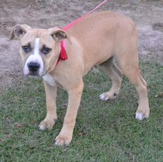 Denny is an adoptable Boxer searching for a forever family near Manchester, NH. Use Petfinder to find adoptable pets in your area.