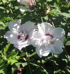 HIBISCUS syr. PINKY SPOT ® 'Minspot' cov Hibiscus, Plants, Plant, Planting, Planets