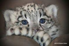 Peering Clouded Snow Leopard Cub.