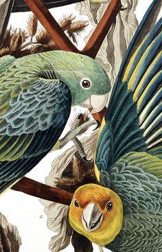 by John James Audubon, Audubon Prints, Images D'art, Art Et Nature, John James Audubon, Art Et Illustration, Illustrations, Bird Artwork, Ouvrages D'art, Bird Drawings