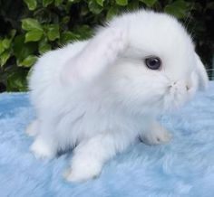 Blue Eyed White Mini Lop Bunnies, Mini Lop Rabbit, Dutch Rabbit, Dwarf Rabbit, Dwarf Bunnies, Cute Baby Bunnies, Cute Baby Animals, Holland Lop Bunnies For Sale, Baby Rabbits For Sale