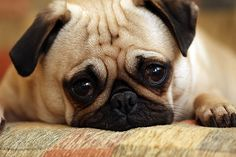 cochorro com carinha de pena