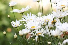 Kukat, Kamomilla, Kukka, Kukassa