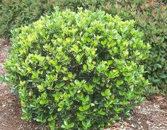 1000 Images About Garden Shrubs On Pinterest Burning