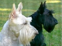 Scottish Terrier Dogs Acrylic Print by Jennie Marie Schell Scottish Terrier Puppy, Terrier Dogs, Cairn Terrier, Bull Terriers, West Highland Terrier, Australian Shepherds, I Love Dogs, Cute Dogs, Rottweiler