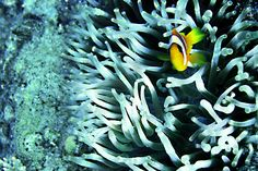 Clownfish in his home