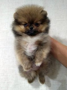 http://spitzpomeranian.com/?Itemid= Spitz nain Pomeranien disponibles et prix par Newsletter Pomeranian puppies available and prices on Newsletter