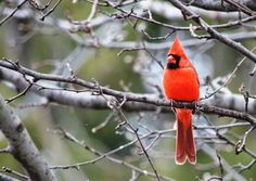 cardinal in pear tree (70 pieces)