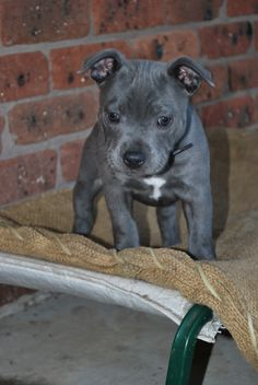 Staffy puppy. Diesel had a wrinkly head like this when he was a baby <3