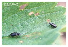 Les altises (Alticinae) sont des insectes sauteurs de l'ordre des coléoptères et de la famille des chrysomélidés (Chrysomèle), prédateurs de nombreuses cultures. Ils ont les pattes arrière très développées et sautent lorsqu'ils sont dérangés. Leur nom, qui date du XVIIIe siècle, (h)altica, provient du grec haltikos, « habile à sauter ».