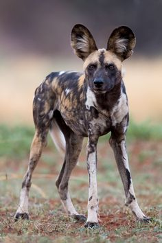 African Wild Dogs are social and gather in packs of around ten individuals, but some packs number more than 40. They are opportunistic predators that hunt medium-sized ruminants, such as gazelles.