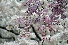 #cherry blossoms, #garden, #spring, #full bloom, #beautiful,