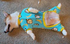 The infamous Corgnelius celebrates with 100% comfort and 0% shame. | 17 Dogs All Cozy In Their Christmas Pajamas