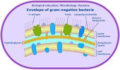 Microbiological educational diagram sample: Cell envelope of gram-negative bacteria.