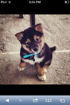 Sheba inu dog :)