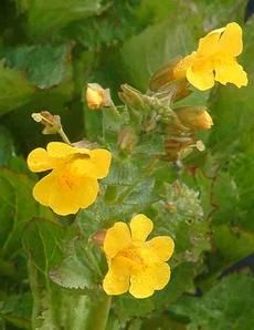 Mimulus guttatus, Seep Monkey Flower - Native San Jose plant
