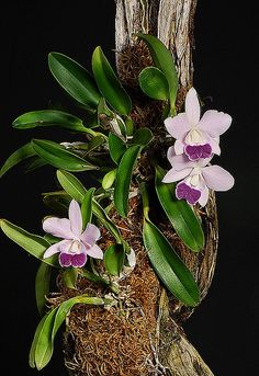 Lc.Mini Purple var Coerulea 'H&R' orchid