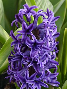 I have always loved the smell of purple hyacinth.