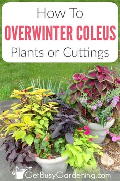 Coleus can be overwintered indoors as cuttings or houseplants, which means you c. Coleus can be ov Slugs In Garden, Garden Pests, Container Plants, Container Gardening, Gardening For Beginners, Gardening Tips, Gardening Magazines, Gardening Zones, Outdoor Plants