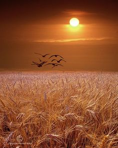 Seagulls fly over a golden wheat field at sunset in Michigan bird landscape color Fine Art Landscape Photography - Gulls flying over a Wheat Field at Sunset in Michigan – A Bird Landscape Photograph - Fields Of Gold, Beautiful Sunset, Beautiful World, Poem Beautiful, Beautiful Scenery, Beautiful Birds, Landscape Photography, Nature Photography, Photography Tips
