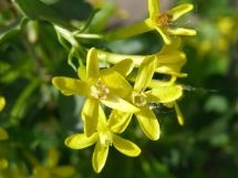 Gold Currant flower