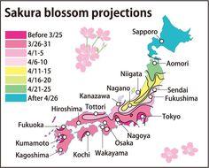 Traseul înfloririlor cireșilor în Japonia