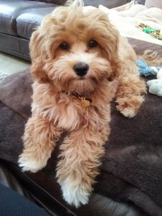 Cavapoo (also known as Cavadoodle or Cavoodle) Cute Dogs And Puppies, I Love Dogs, Pet Dogs, Dog Cat, Doggies, Cavapoo Puppies, Poodle Puppies, Puppys, Shipoo Puppies